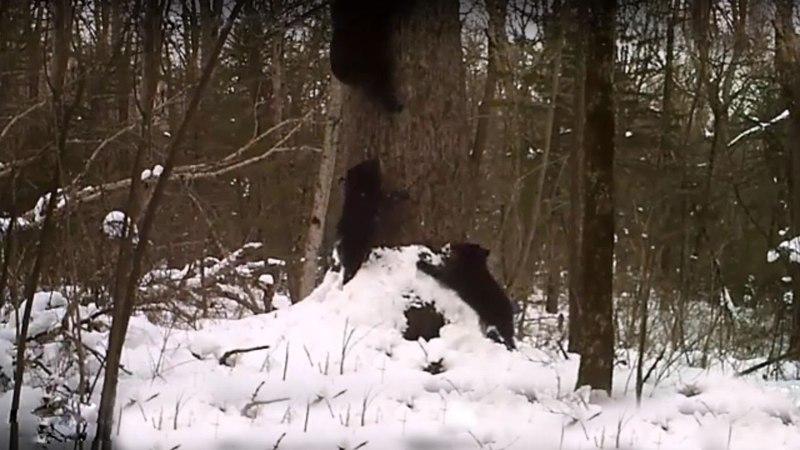 Медведица с медвежатами забираются в берлогу .