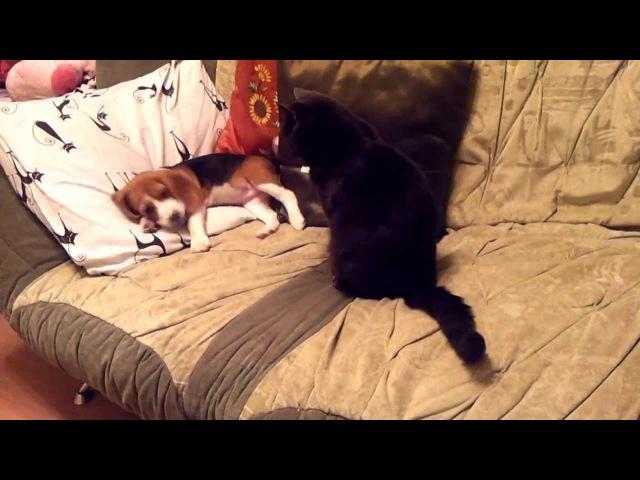 Бигль донимает кота