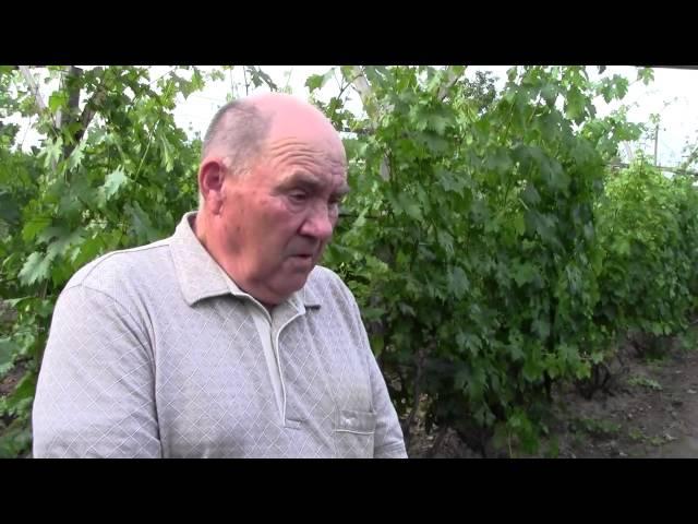 Как правильно удобрять и подкармливать виноград