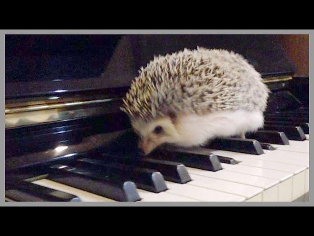 Hedgehog Vines - Cute Hedgehogs That Run, Hide, Play and Eat