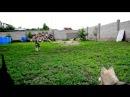 В ожидании папы и мамы Щенки питомник Fieri Crystal Красноярск (детки Юны и Чирса)