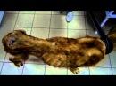 Камыши-найден истощённый алабай .Очередная человеческая жестокость.