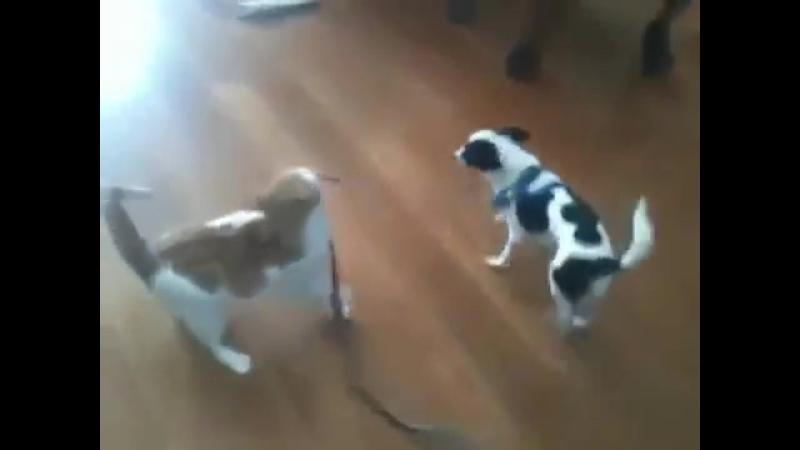 Gato corajoso puxa cachorro pela coleira