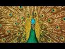 Самые красочные птицы мира и красивая музыка для Вас!