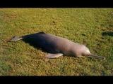 Дельфин охотится на СУШЕ | National Geographic