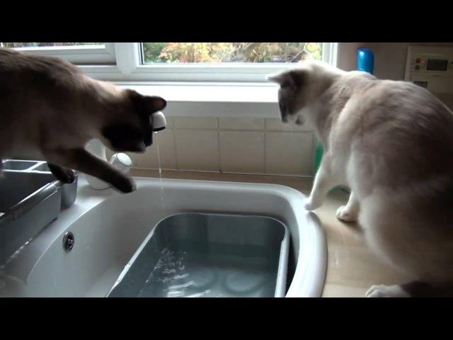 Splish Splash Snowshoe Cats