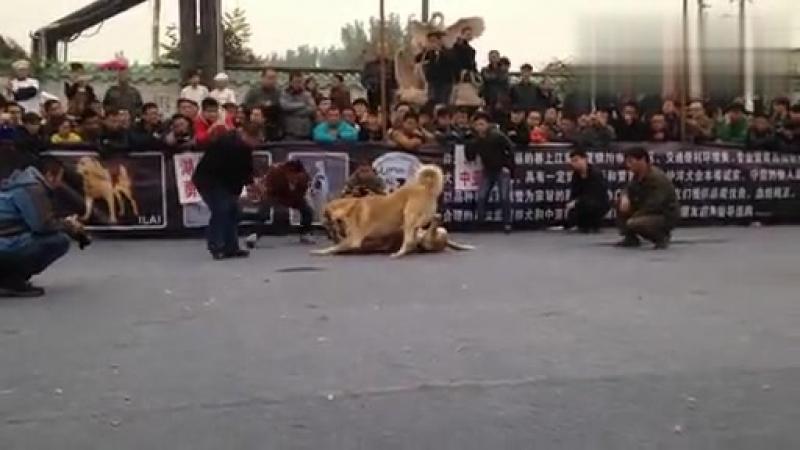 Кангал Vs Булли кутта Fighting Dogs Собачьи бои Kangal против Bully kutta