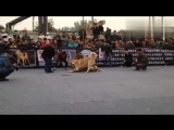 Кангал Vs Булли кутта (Fighting Dogs) Собачьи бои: Kangal против Bully kutta