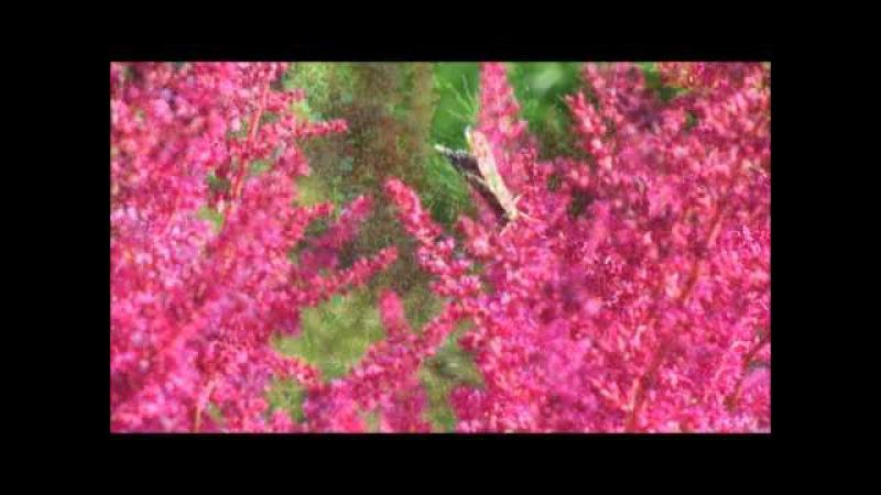Astilbes in our garden in HD