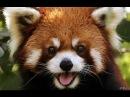 Красная панда - «огненная кошка»