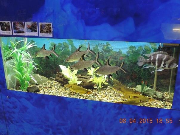 Акулий барбус (16.04.2015)