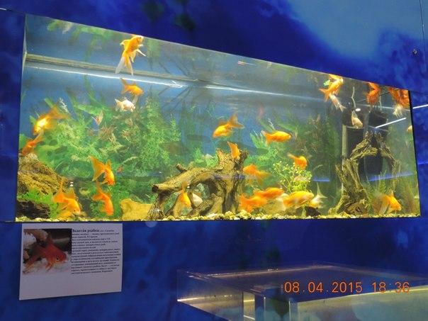 Золотые рыбки (16.04.2015)