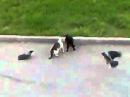 Вороны троллят котов ахаха...
