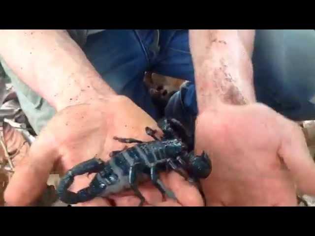 Поймали гигантского императорского скорпиона