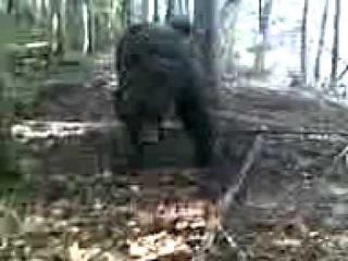 Медведь в капкане / Bear in trap