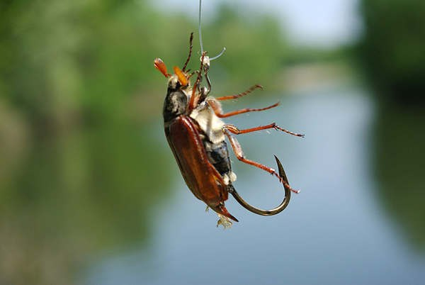 ловим жереха на майского жука
