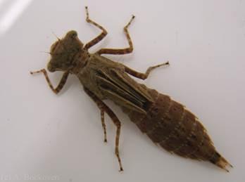 личинка стрекозы где найти