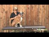 Массаж спины и области грудной клетки(ребер) собаки
