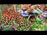 Леопард.Хищник нашей планеты.