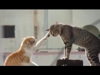 Свирепые кошаки на пике страстей! Самые смешные кошачьи бои! Для всех любителей четвероногих!