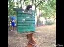 Тренировка собак на Собачьи бои
