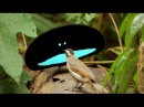 Birds of Paradise Documentary - FUNNY PARODY