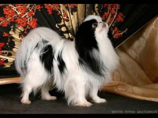 Японский хин, все породы собак, 101 dogs. Введение в собаковедение.