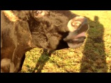 Корова не контролирует язык