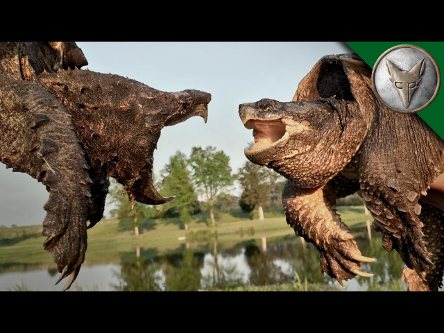 Грифовая черепаха vs Каймановая черепаха