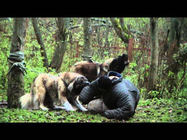 Дрессировка служебных собак. Кавказские овчарки (1). www.dogclass.ru и stopvrag.ru