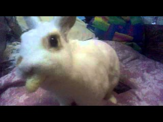 Карликовый кролик . Снежинка