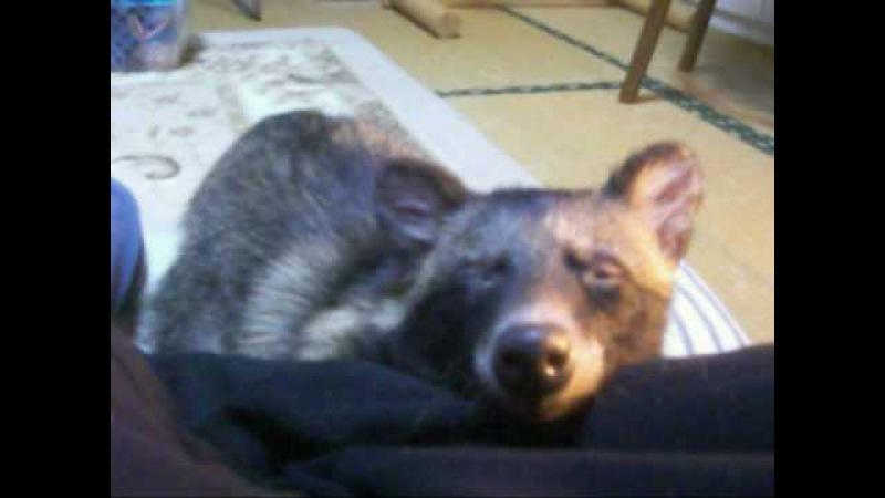 たぬきのポチのイビキ Snoring of Pochi of the raccoon dog