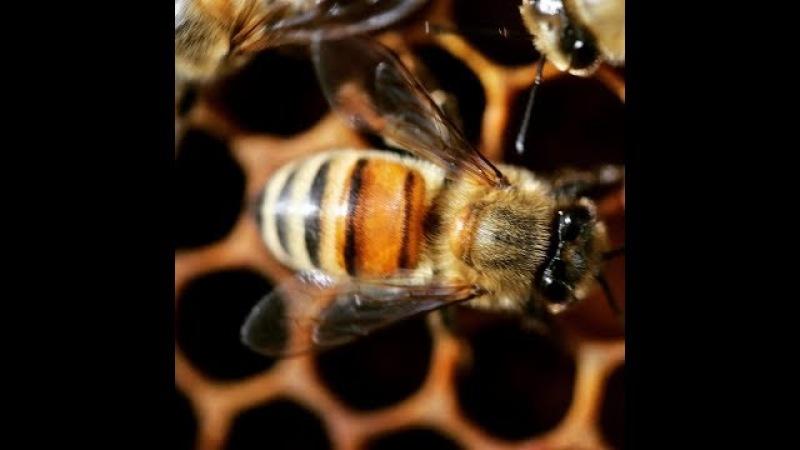 Зимовка пчёл Buckfast 2018