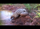 Adorable pangolin has an awesome time in the mud