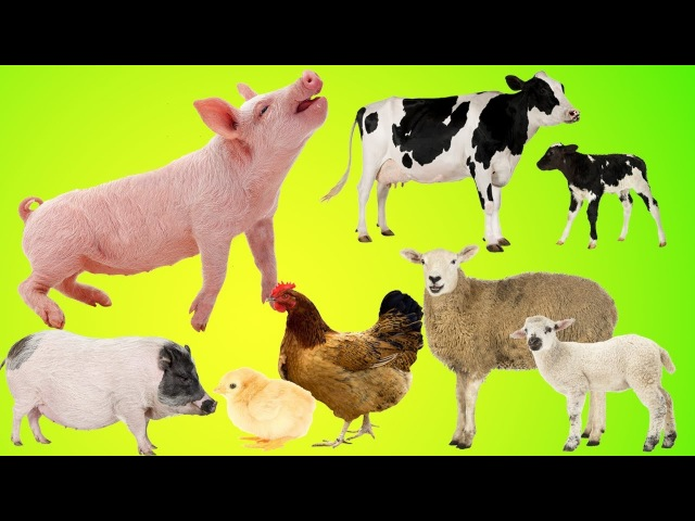 Animals Farm Baby Find Mom, Pig, Cow, chicken, Sheep | Animals Farm Name and Sounds