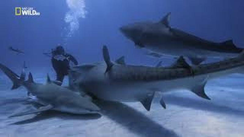 Тигровая акула. Документальный фильм (2017)