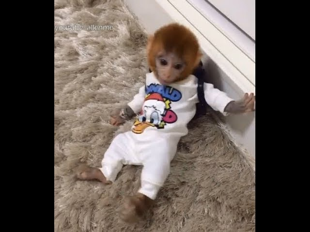 Does pocket monkey Coco look like a schoolchild? Funny monkey video