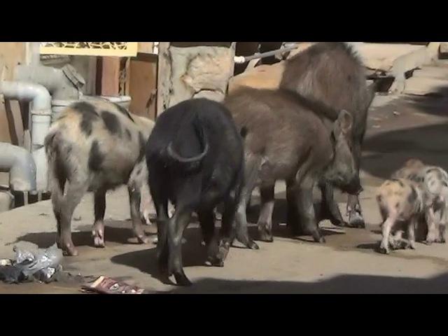 дикие Свиньи золотого города пустыни Тар, Раджастан, Индия