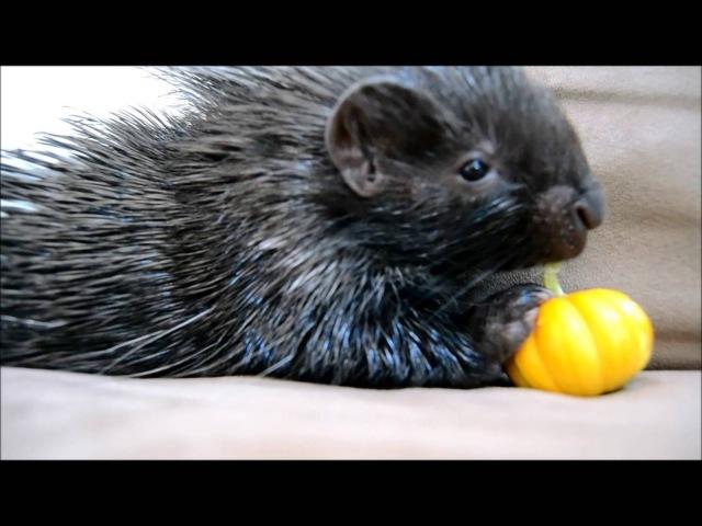 Tiny Porcupine eats Tiny Pumpkin