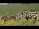 Ai Biểu Chọc Giận Ngựa Vằn Làm Gì Để Rồi Báo Đốm Nhận Kết Cục Như Thế Này Leopard vs Zebra vs lion