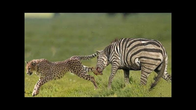 Ai Biểu Chọc Giận Ngựa Vằn Làm Gì Để Rồi Báo Đốm Nhận Kết Cục Như Thế Này? Leopard vs Zebra vs lion