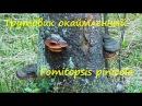 Трутовик окаймлённый Помощник леса Враг лесозаготовителя