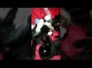 Как играют маленькие котята Мейн кун. How to play little Maine Coon kittens they are 4 weeks