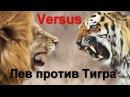 VERSUS. Лев против Тигра, кто сильнее?