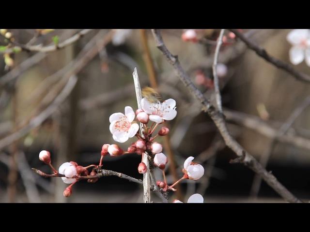 В Адыгее весна. Цветущая алыча, пчелы трудятся и птички поют. 1
