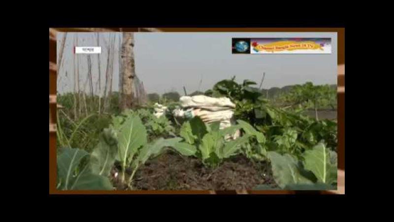 Commercial vegetable farmer harvesting jessore bangladesh - Channel Bangla News 24 TV - on you tube
