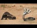Chúa tể loài rắn Đại chiên sống còn Thế giới động vật King Cobra Attacking Mongoose honey badger