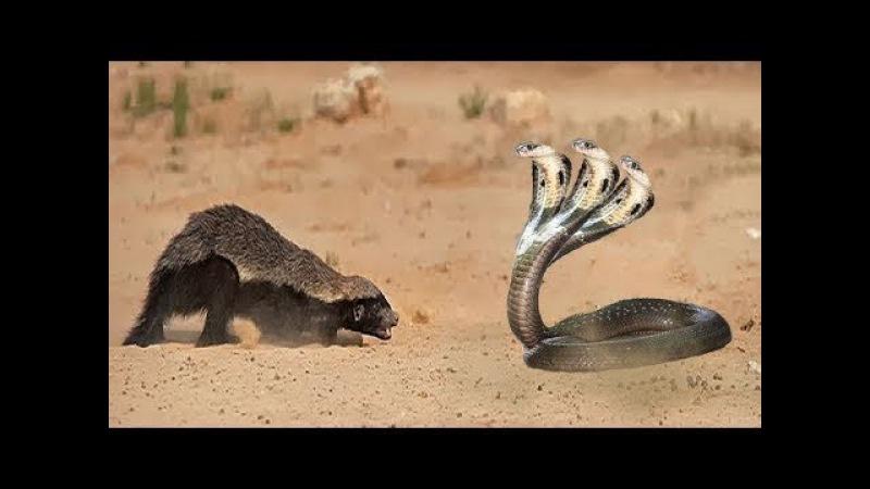 Chúa tể loài rắn Đại chiên sống còn Thế giới động vật - King Cobra Attacking Mongoose honey badger