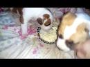 Питание щенков американского стаффордширского терьера , творожок малышам.Амстаффы Ценный Приз.