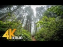 Redwoods Among the Giants in 4K Unique California's Forest Relaxing Video with Naure Sounds